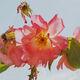 ABELOUS-AZEMA - roses