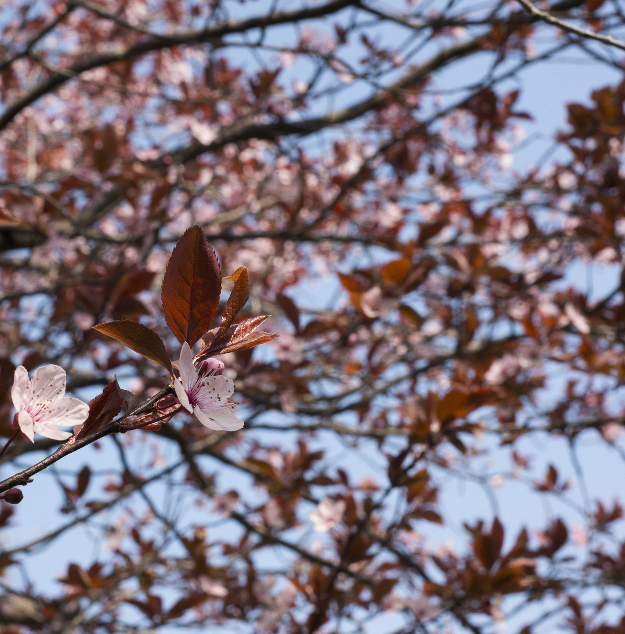 ArtPhoto fleurs de prunier