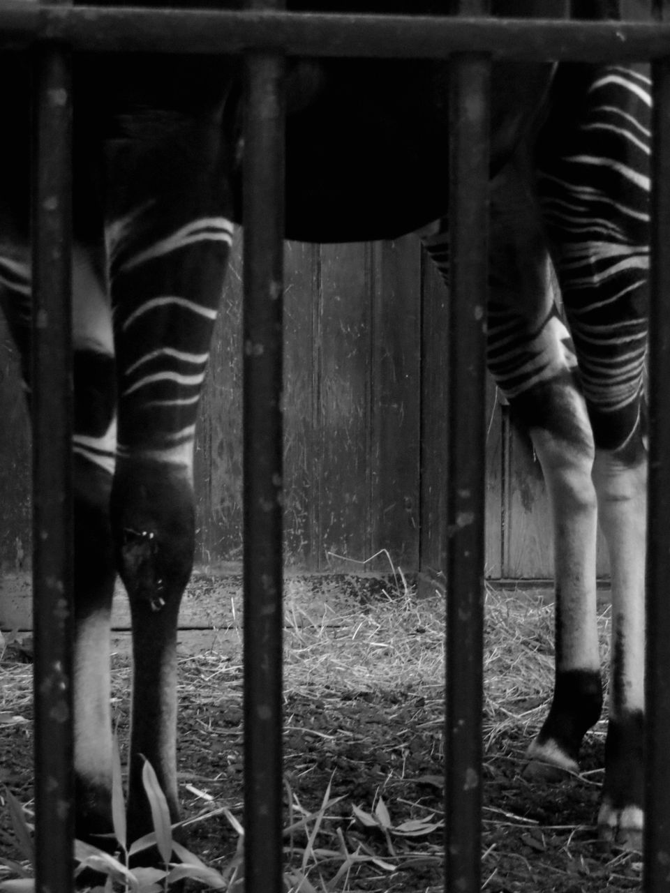 Basile Châtelain élégante captivité