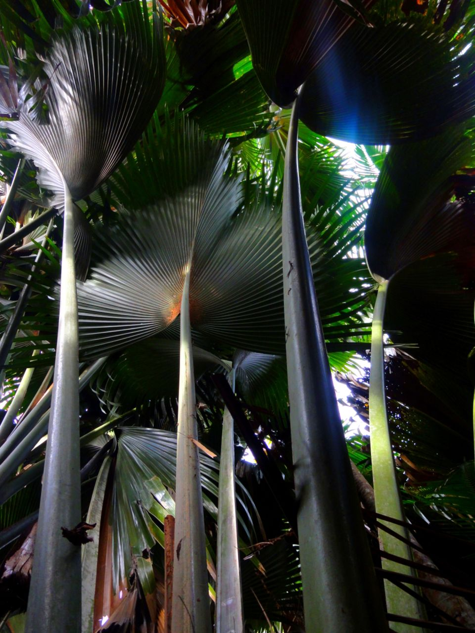 Basile Châtelain palmiers argentés