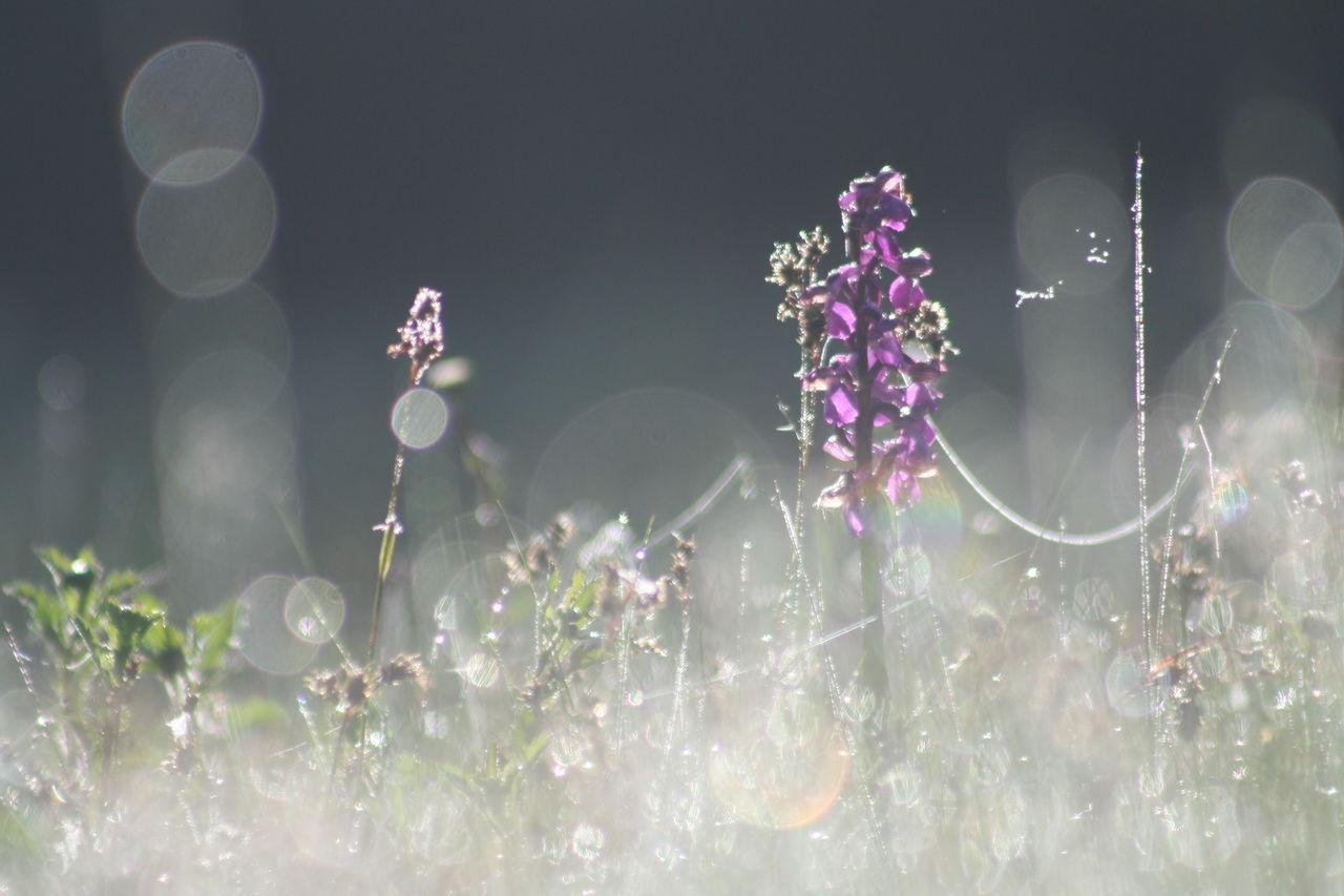 Ben orchis bouffon