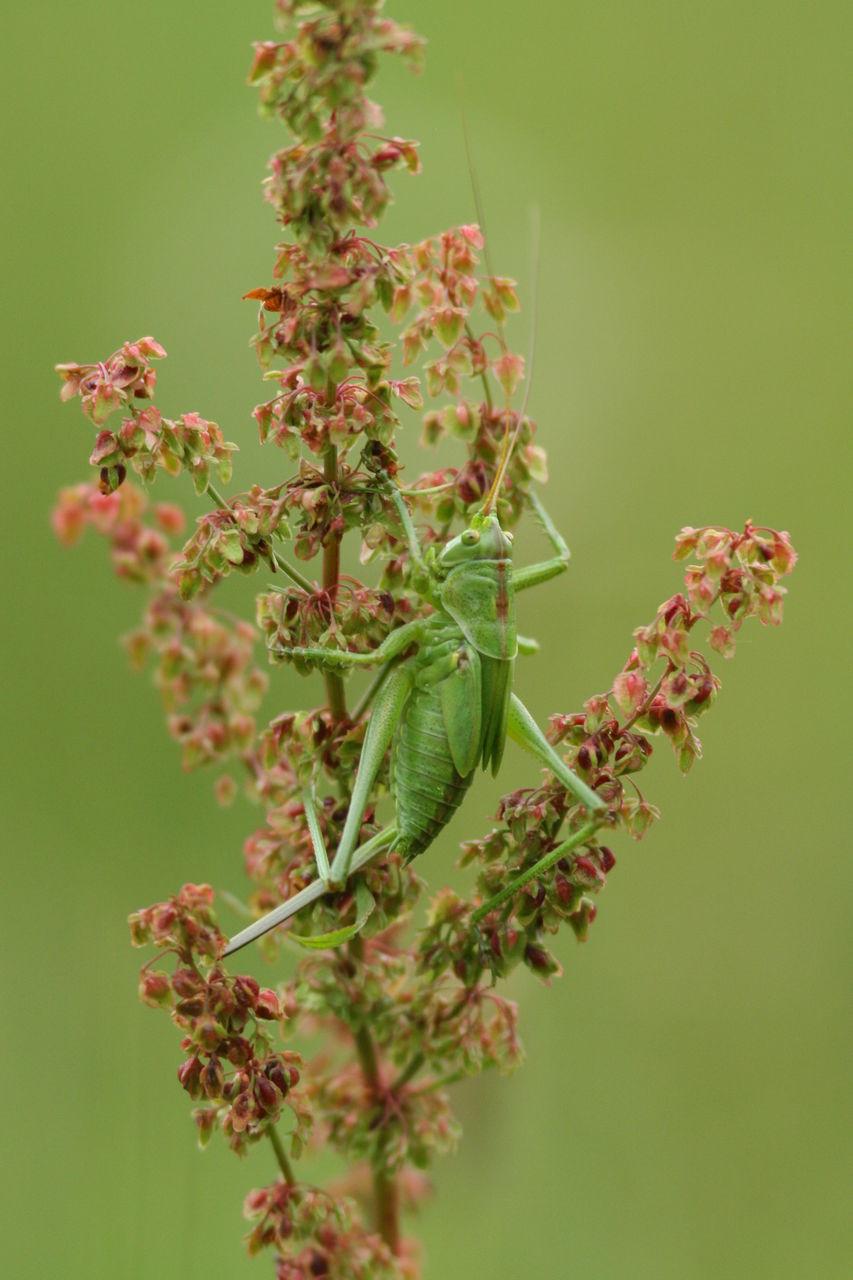 Ben grande sauterelle verte