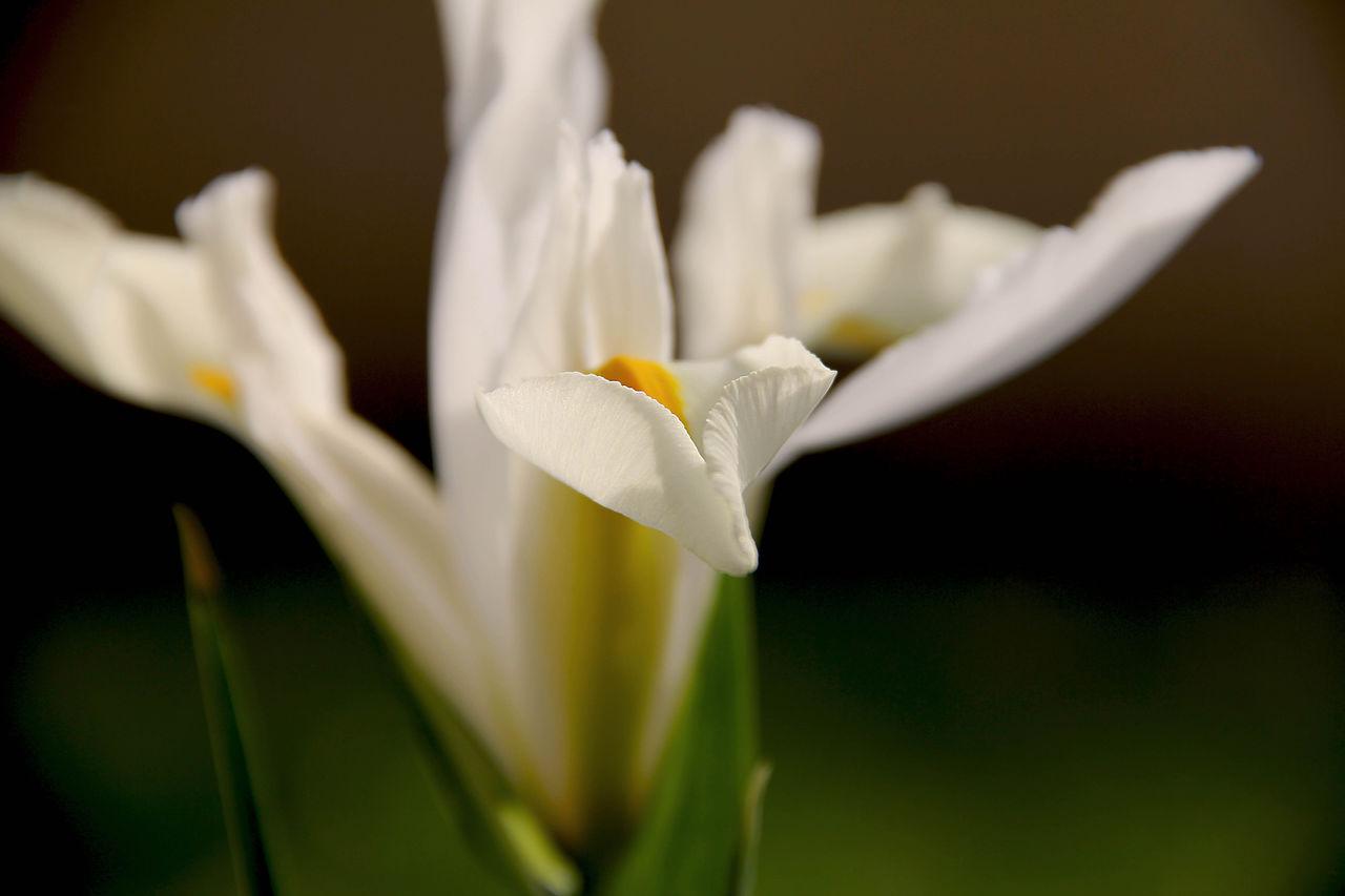 Catherine GRENOUILLAT Iris blanche