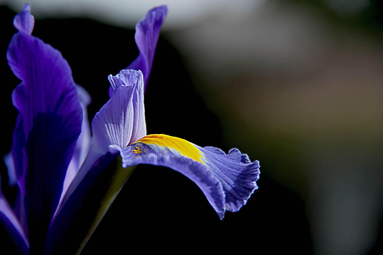 Catherine GRENOUILLAT Iris bleue