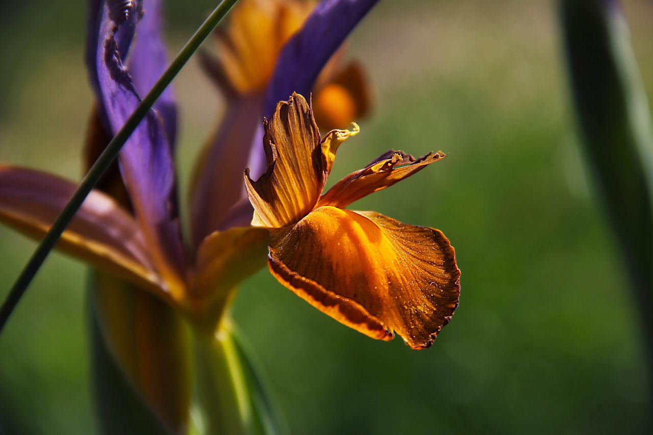 Catherine GRENOUILLAT Iris orange
