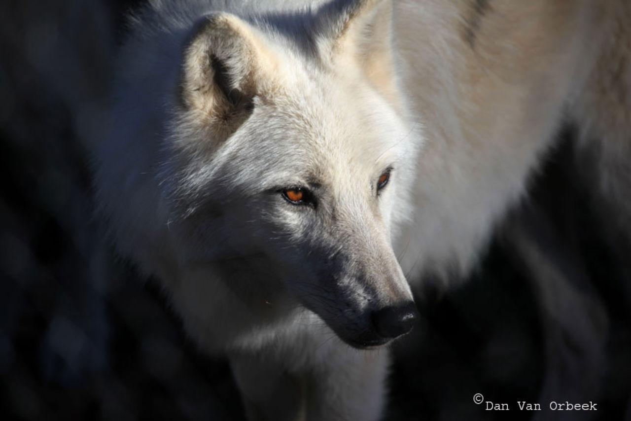 Dan Van Orbeek wolfs