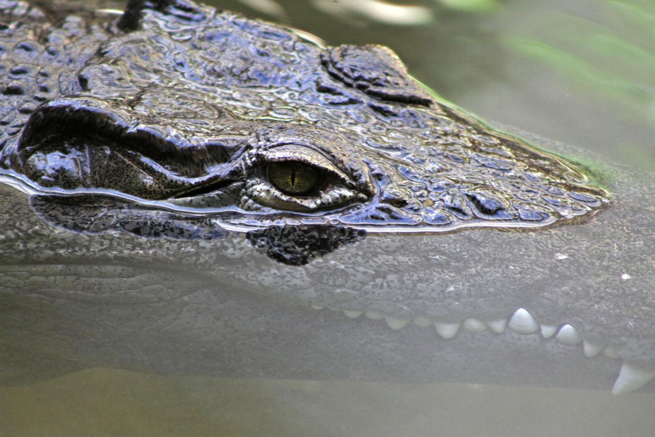 Didier Harmant Crocodile