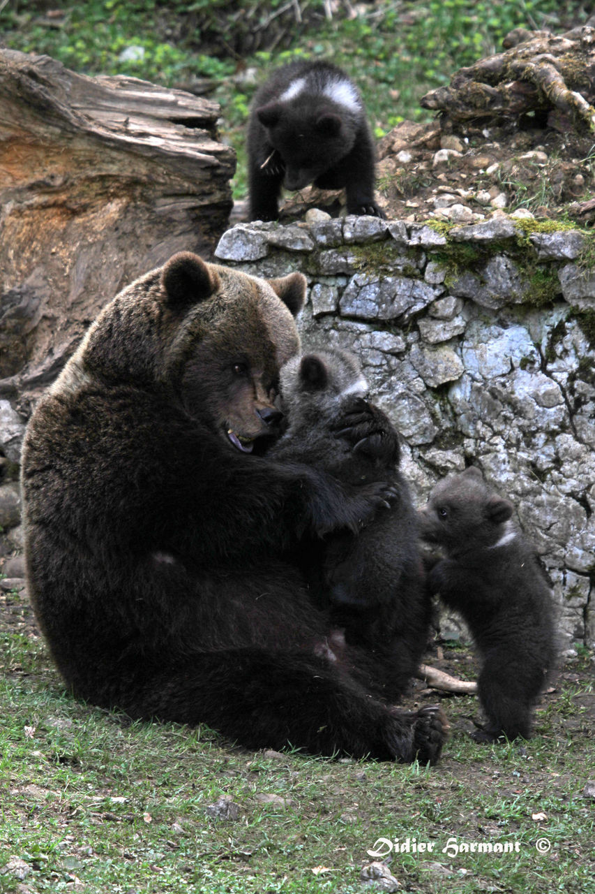 Didier Harmant Famille d'ours