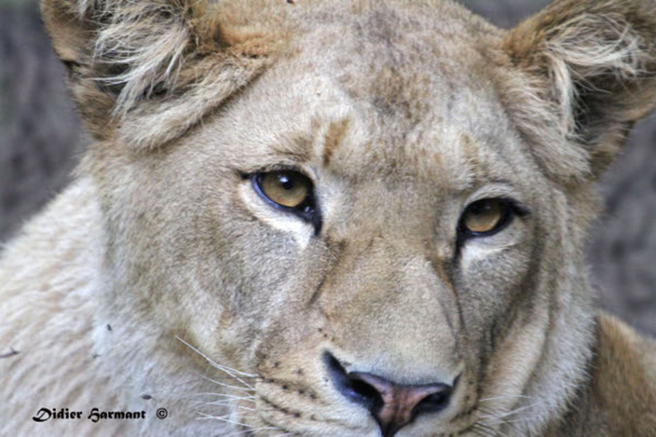 Didier Harmant Lionne