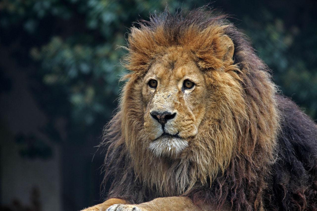 Didier Harmant Portrait lion