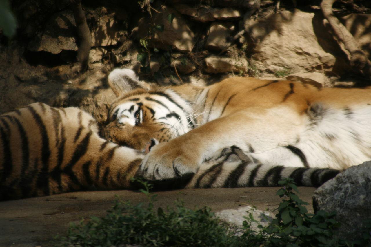 Didier Harmant Sieste de tigre