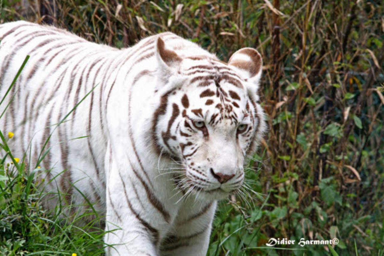 Didier Harmant Tigre blanc