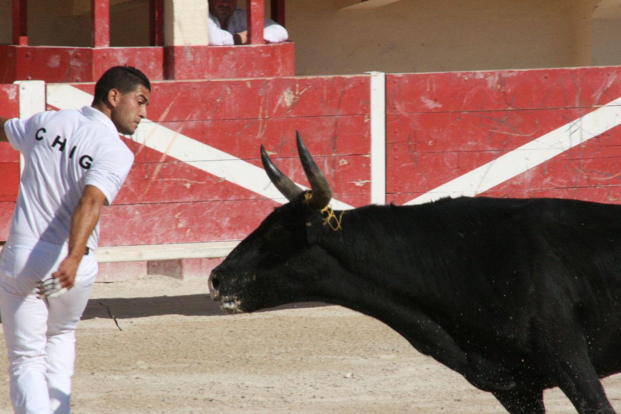 Didier Harmant Raseteur et taureau camarguais