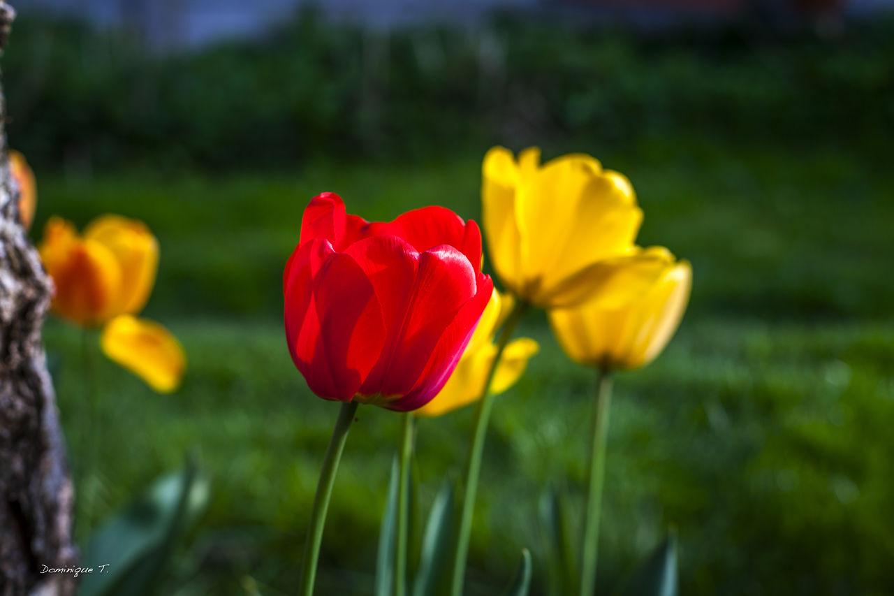Dominique T. Tulipe Rouge