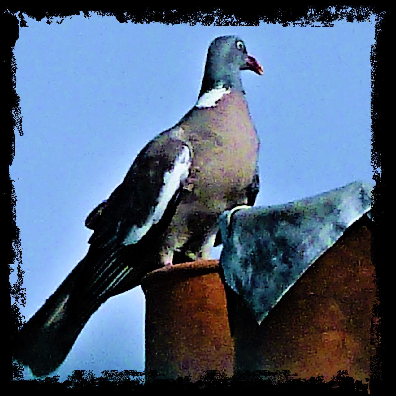 frédéric perrin pigeon contour brut