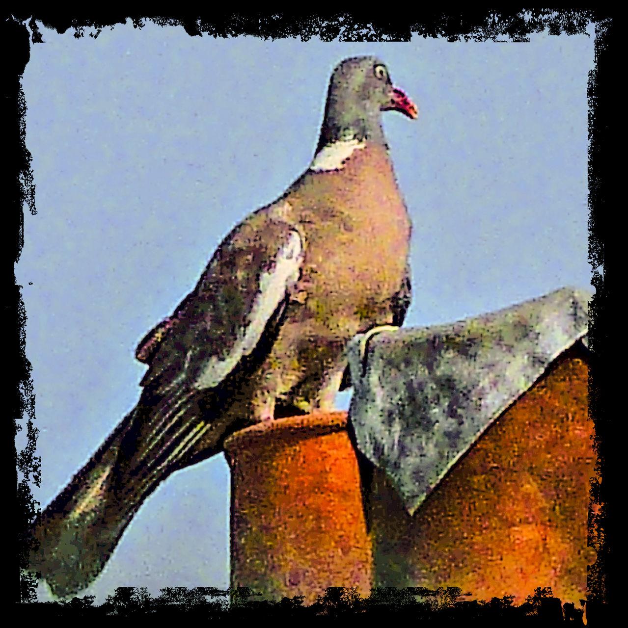 frédéric perrin pigeon contour brut 2
