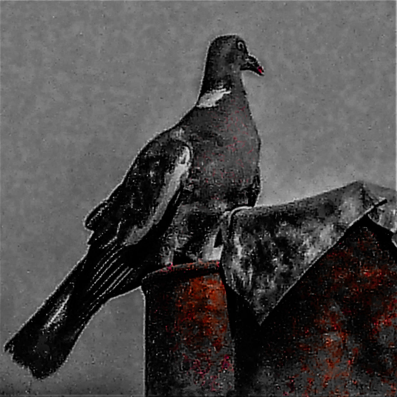 frédéric perrin pigeon rouge