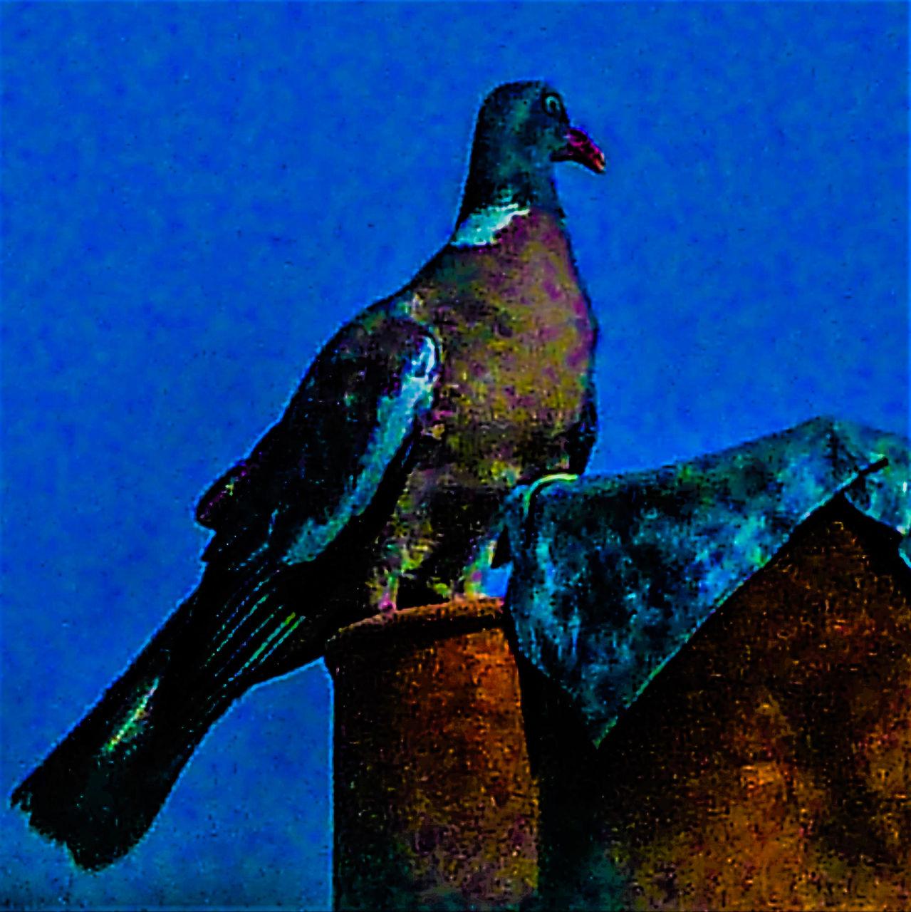 frédéric perrin pigeon verve