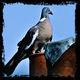 frédéric perrin - pigeon contour brut