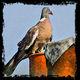 frédéric perrin - pigeon contour brut 2