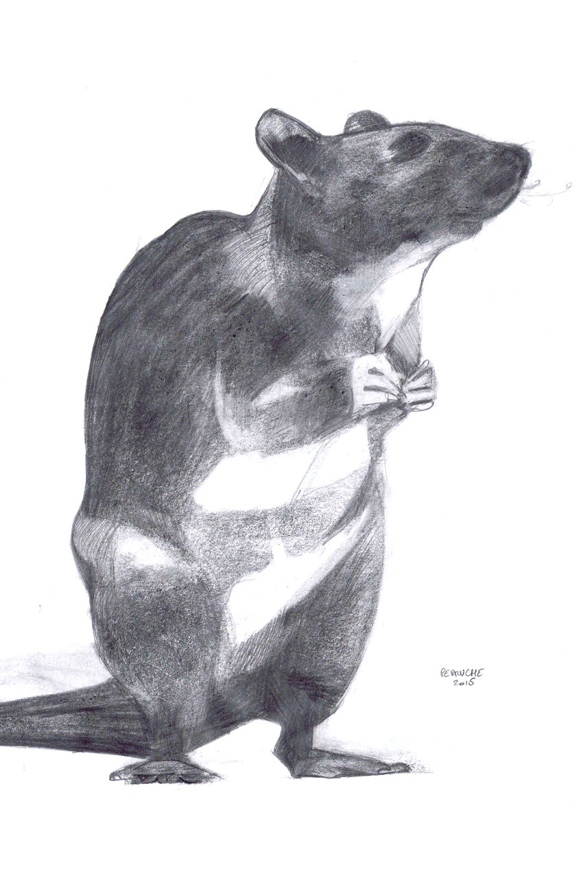 Nicolas Perruche rat