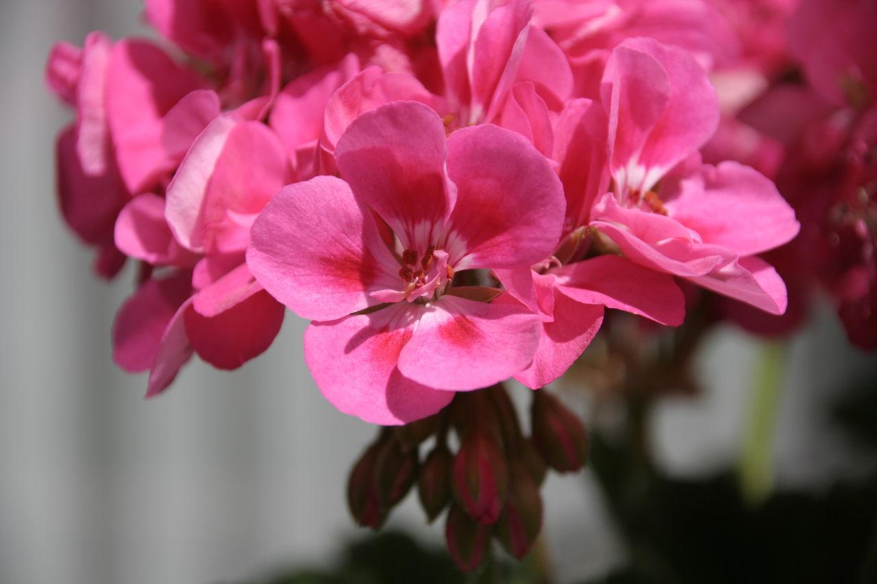 Philippe Schmucker Pink flowers